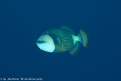 BD-131208-Daedalus-0899-Balistoides-viridescens-(Bloch---Schneider.-1801)-[Titan-triggerfish].jpg